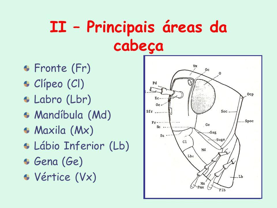 II – Principais áreas da cabeça Fronte (Fr) Clípeo (Cl) Labro (Lbr) Mandíbula (Md) Maxila (Mx) Lábio Inferior (Lb) Gena (Ge) Vértice (Vx)