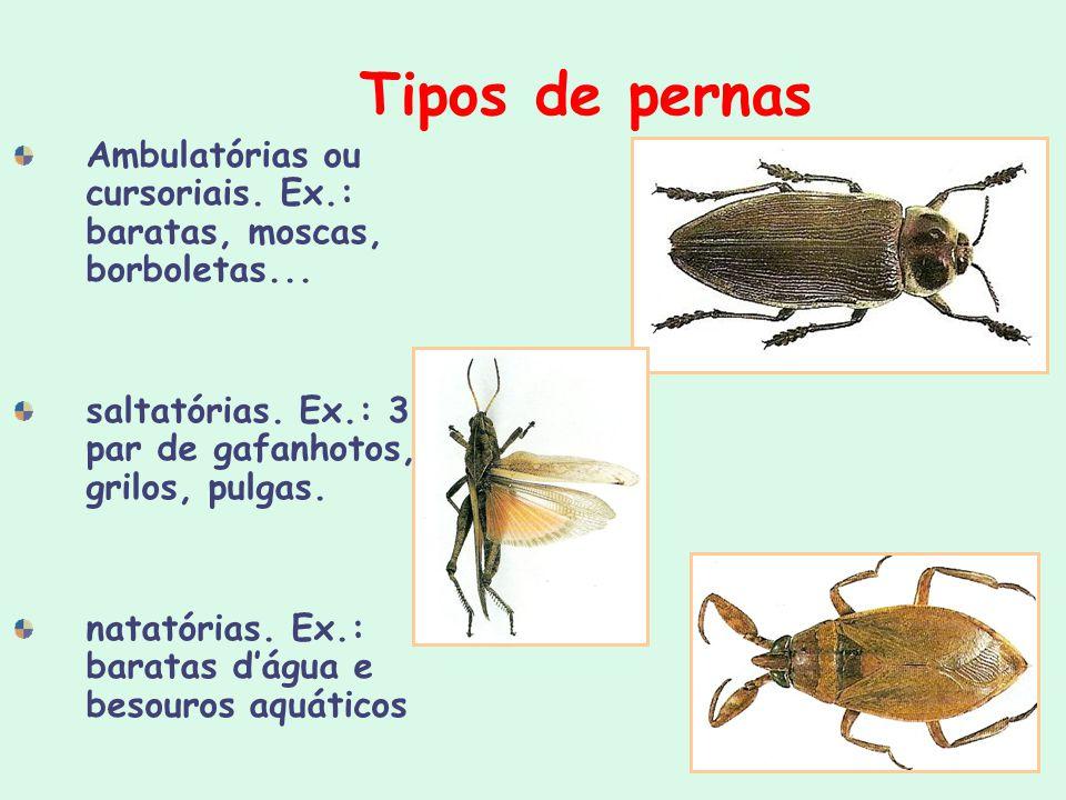 Tipos de pernas Ambulatórias ou cursoriais. Ex.: baratas, moscas, borboletas... saltatórias. Ex.: 3º par de gafanhotos, grilos, pulgas. natatórias. Ex
