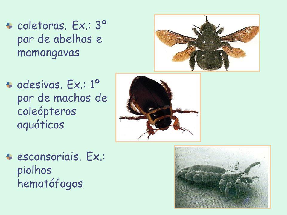 coletoras. Ex.: 3º par de abelhas e mamangavas adesivas. Ex.: 1º par de machos de coleópteros aquáticos escansoriais. Ex.: piolhos hematófagos