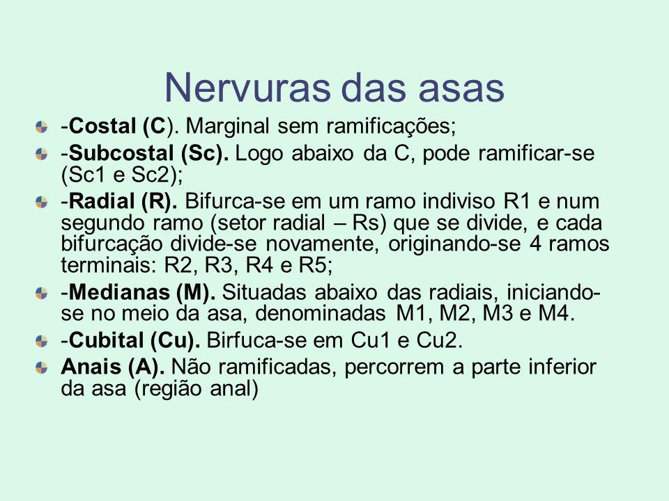 Nervuras das asas -Costal (C). Marginal sem ramificações; -Subcostal (Sc). Logo abaixo da C, pode ramificar-se (Sc1 e Sc2); -Radial (R). Bifurca-se em