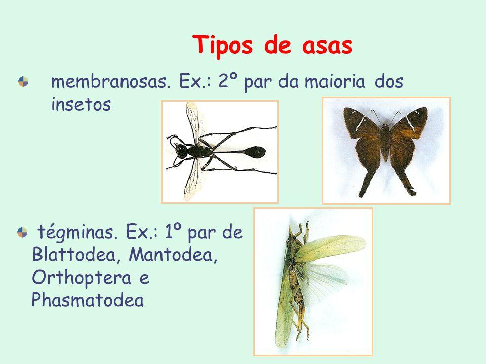 Tipos de asas membranosas. Ex.: 2º par da maioria dos insetos tégminas. Ex.: 1º par de Blattodea, Mantodea, Orthoptera e Phasmatodea