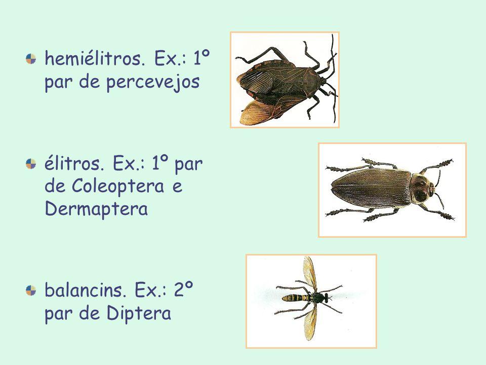 hemiélitros. Ex.: 1º par de percevejos élitros. Ex.: 1º par de Coleoptera e Dermaptera balancins. Ex.: 2º par de Diptera
