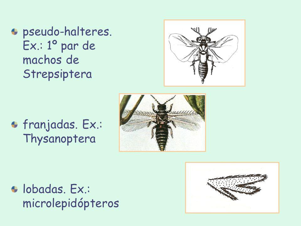 pseudo-halteres. Ex.: 1º par de machos de Strepsiptera franjadas. Ex.: Thysanoptera lobadas. Ex.: microlepidópteros