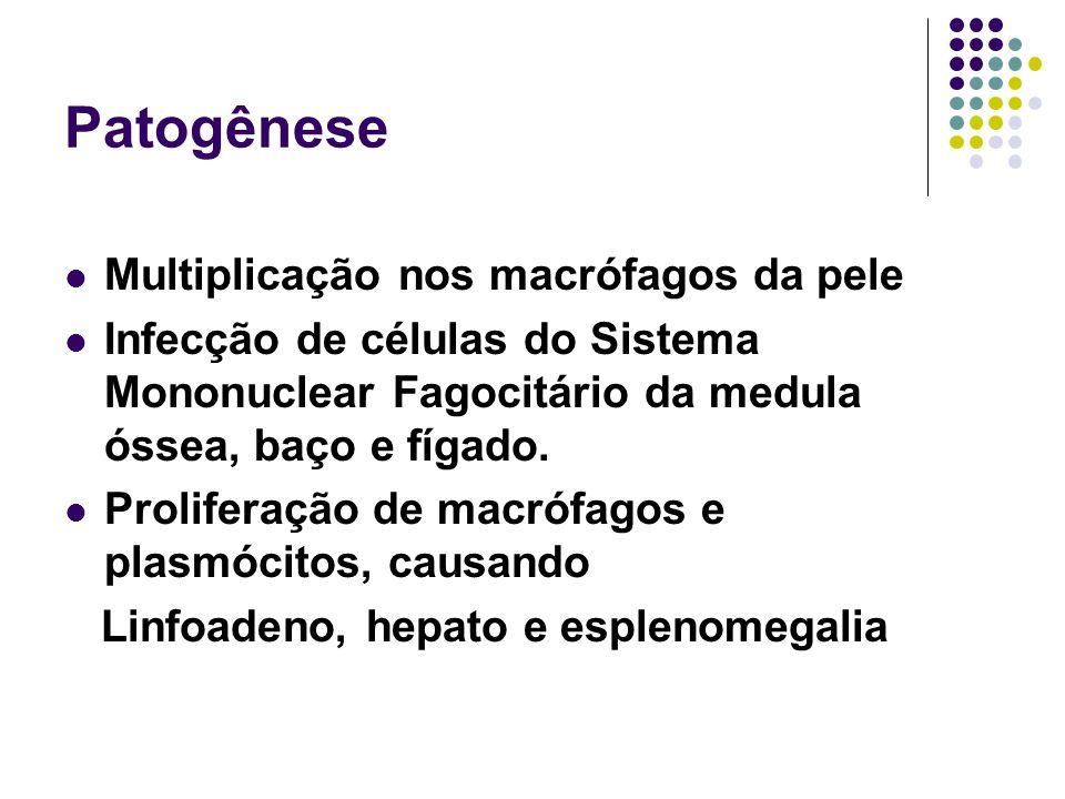 Patogênese Multiplicação nos macrófagos da pele Infecção de células do Sistema Mononuclear Fagocitário da medula óssea, baço e fígado. Proliferação de