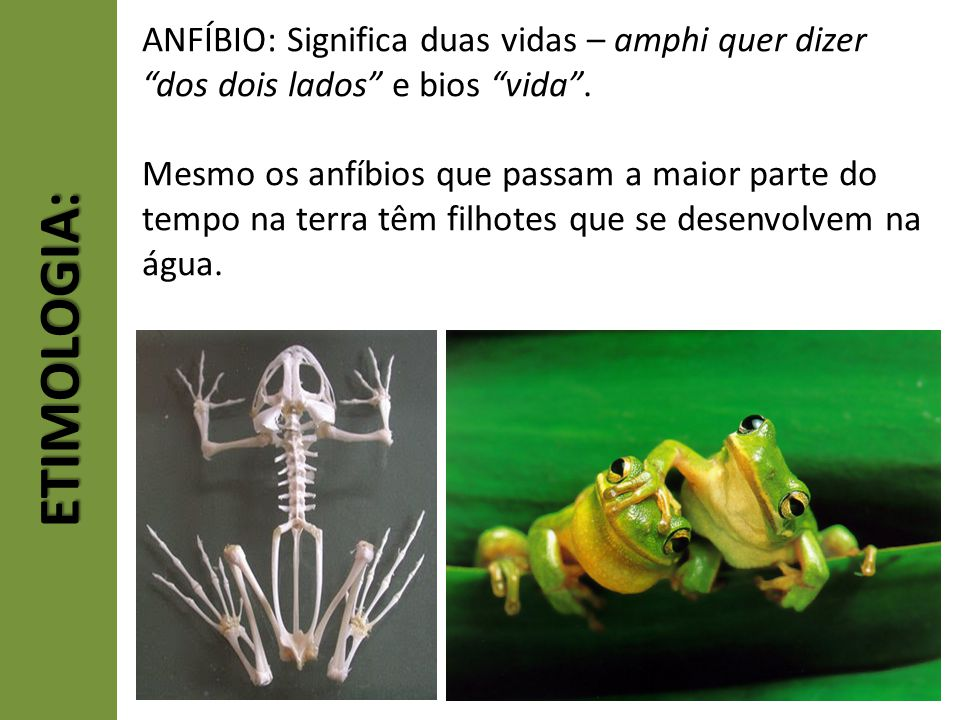 ETIMOLOGIA: ANFÍBIO: Significa duas vidas – amphi quer dizer dos dois lados e bios vida. Mesmo os anfíbios que passam a maior parte do tempo na terra