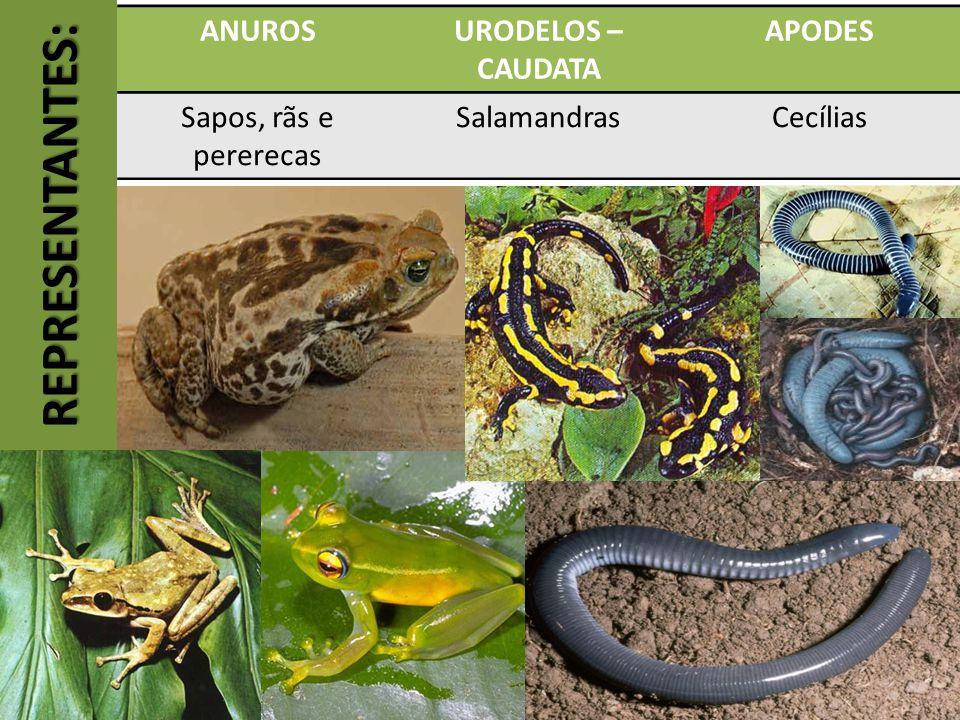 RESPIRANDO FORA DA ÁGUA: As larvas respiram por brânquias, como os peixes.