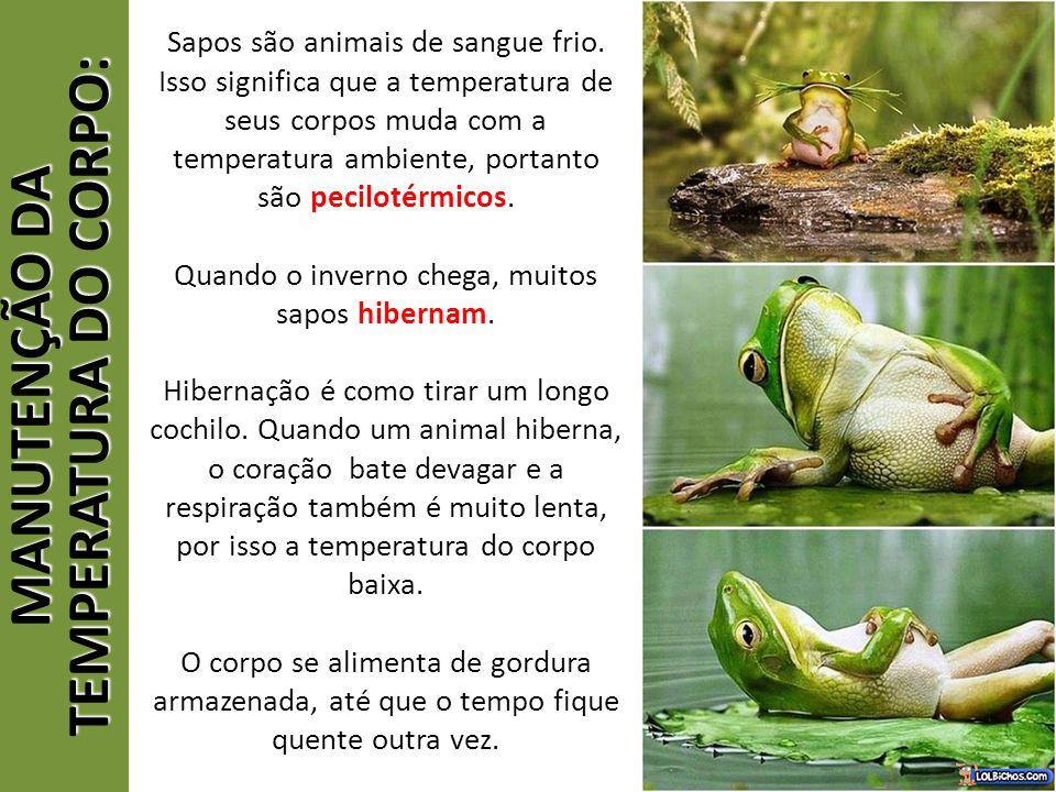 MANUTENÇÃO DA TEMPERATURA DO CORPO: Sapos são animais de sangue frio. Isso significa que a temperatura de seus corpos muda com a temperatura ambiente,
