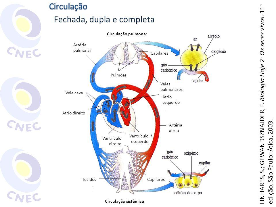 Fechada, dupla e completa Artéria pulmonar Veia cava Átrio direito Tecidos Circulação pulmonar Circulação sistêmica Artéria aorta Átrio esquerdo Capil