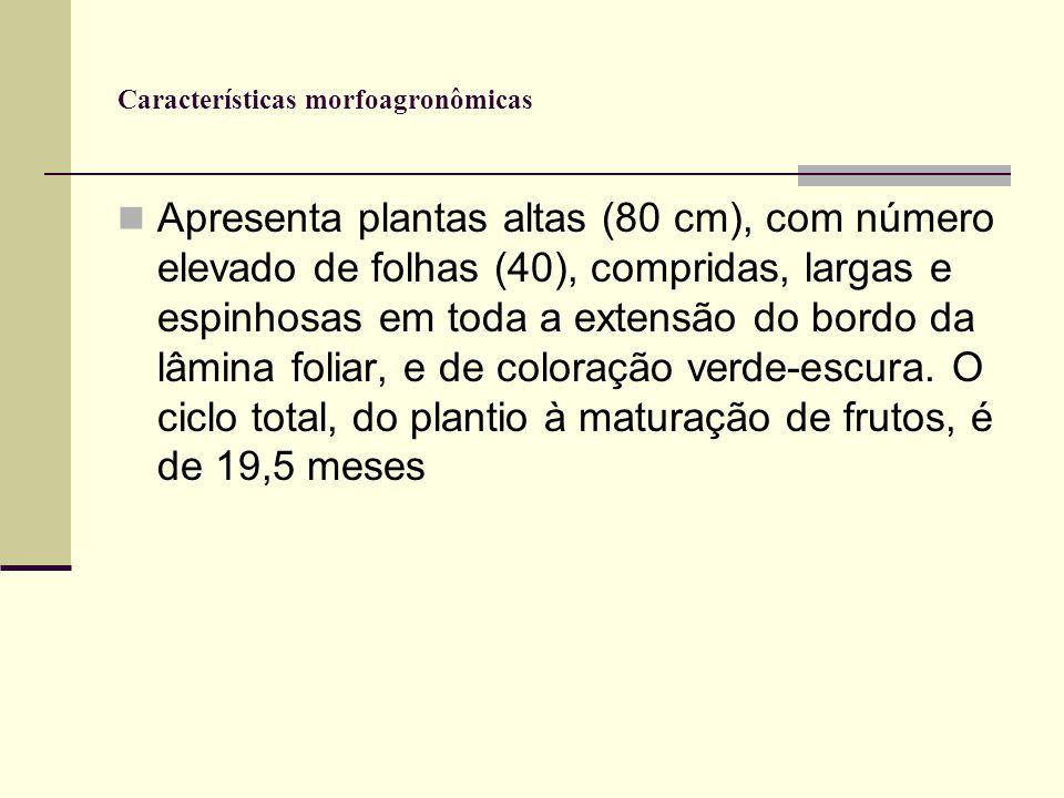 Características morfoagronômicas Apresenta plantas altas (80 cm), com número elevado de folhas (40), compridas, largas e espinhosas em toda a extensão do bordo da lâmina foliar, e de coloração verde-escura.