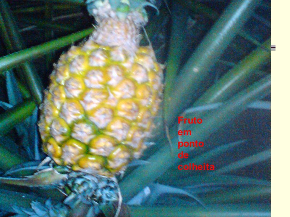 Fruto em ponto de colheita