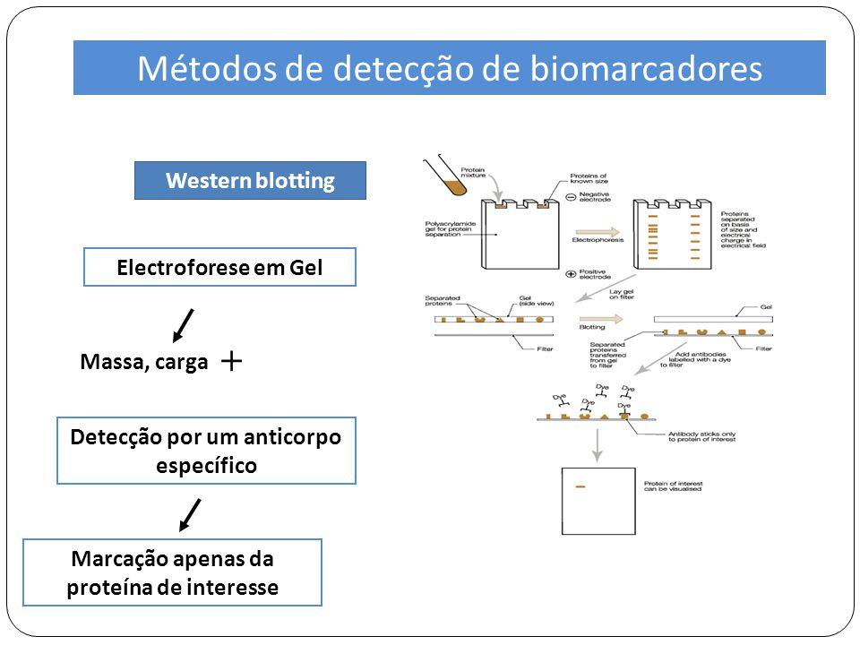 Western blotting Electroforese em Gel Detecção por um anticorpo específico Massa, carga + Métodos de detecção de biomarcadores Marcação apenas da proteína de interesse