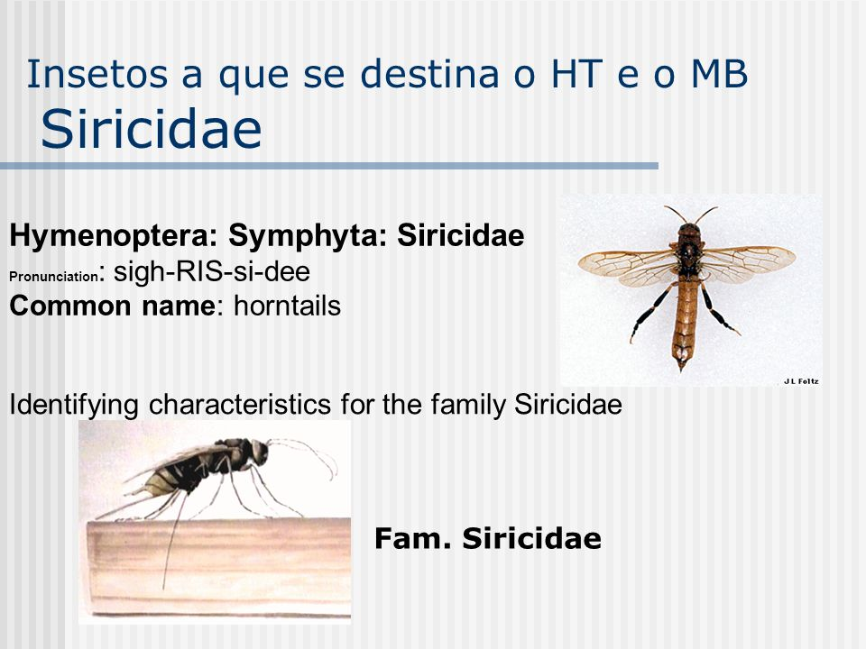 Hymenoptera: Symphyta: Siricidae Pronunciation : sigh-RIS-si-dee Common name: horntails Identifying characteristics for the family Siricidae Fam. Siri