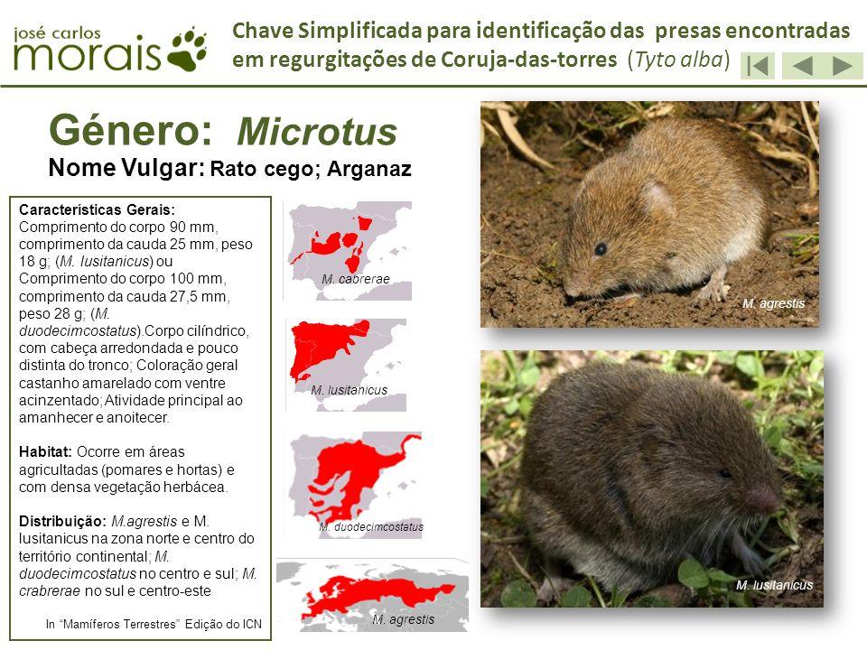 Género: Microtus Nome Vulgar: Rato cego; Arganaz Características Gerais: Comprimento do corpo 90 mm, comprimento da cauda 25 mm, peso 18 g; (M. lusita