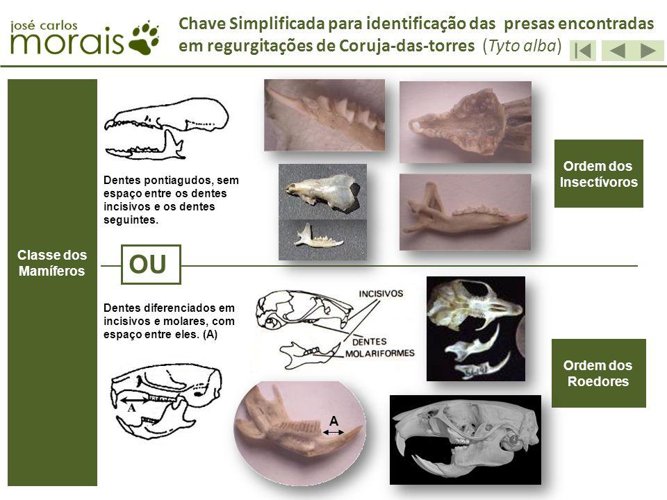 Chave Simplificada para identificação das presas encontradas em regurgitações de Coruja-das-torres (Tyto alba) OU Ordem dos Insectívoros Ordem dos Roe