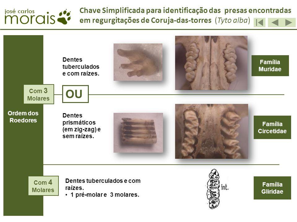 OU Família Muridae Família Gliridae A Família Circetidae Dentes tuberculados e com raízes. Dentes prismáticos (em zig-zag) e sem raízes. Dentes tuberc