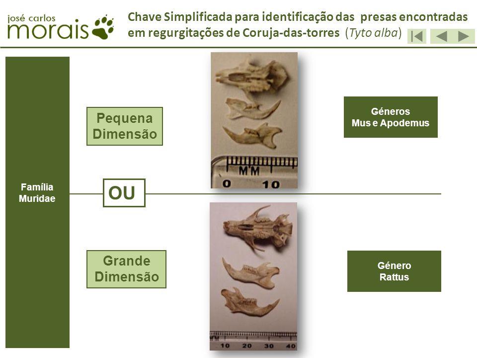Géneros Mus e Apodemus Género Rattus Pequena Dimensão Grande Dimensão OU Chave Simplificada para identificação das presas encontradas em regurgitações