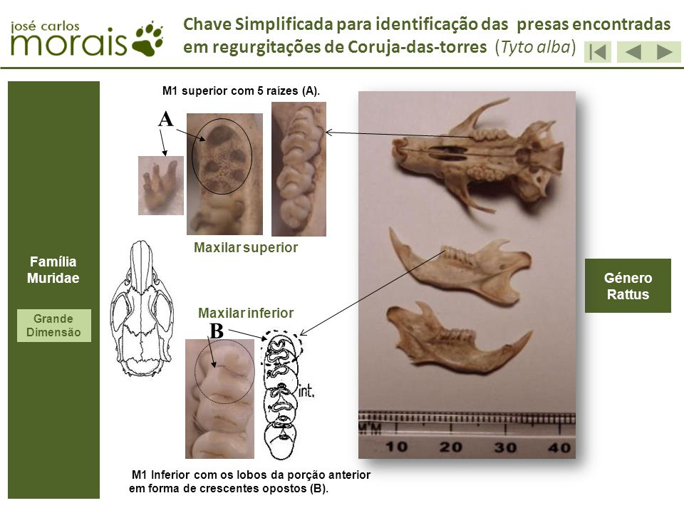 Género Rattus A Maxilar superior Maxilar inferior B M1 superior com 5 raízes (A). M1 Inferior com os lobos da porção anterior em forma de crescentes o