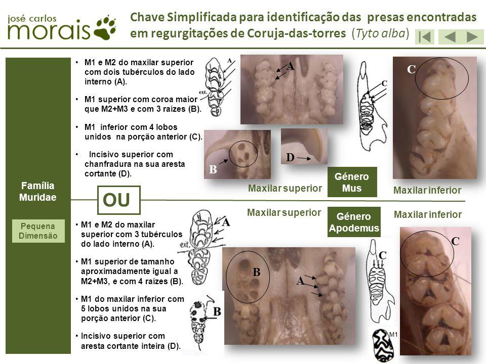 OU Género Apodemus M1 e M2 do maxilar superior com dois tubérculos do lado interno (A). M1 superior com coroa maior que M2+M3 e com 3 raízes (B). M1 i