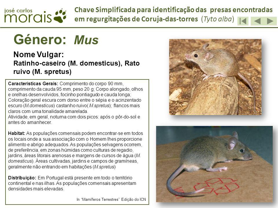 Género: Mus Nome Vulgar: Ratinho-caseiro (M. domesticus), Rato ruivo (M. spretus) Características Gerais: Comprimento do corpo 90 mm, comprimento da c