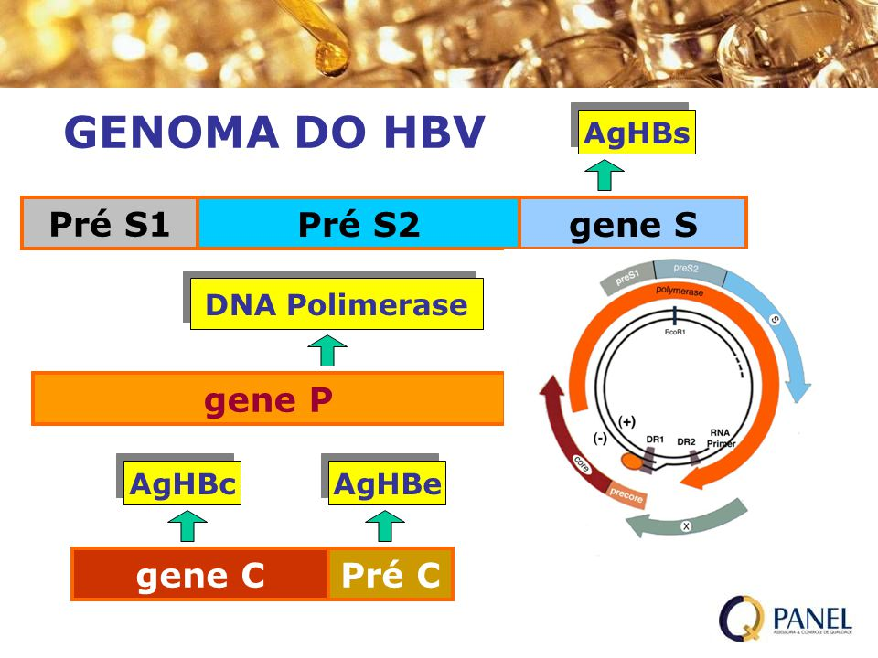 gene P Pré S1 Pré S2gene S gene CPré C AgHBe AgHBc AgHBs DNA Polimerase GENOMA DO HBV