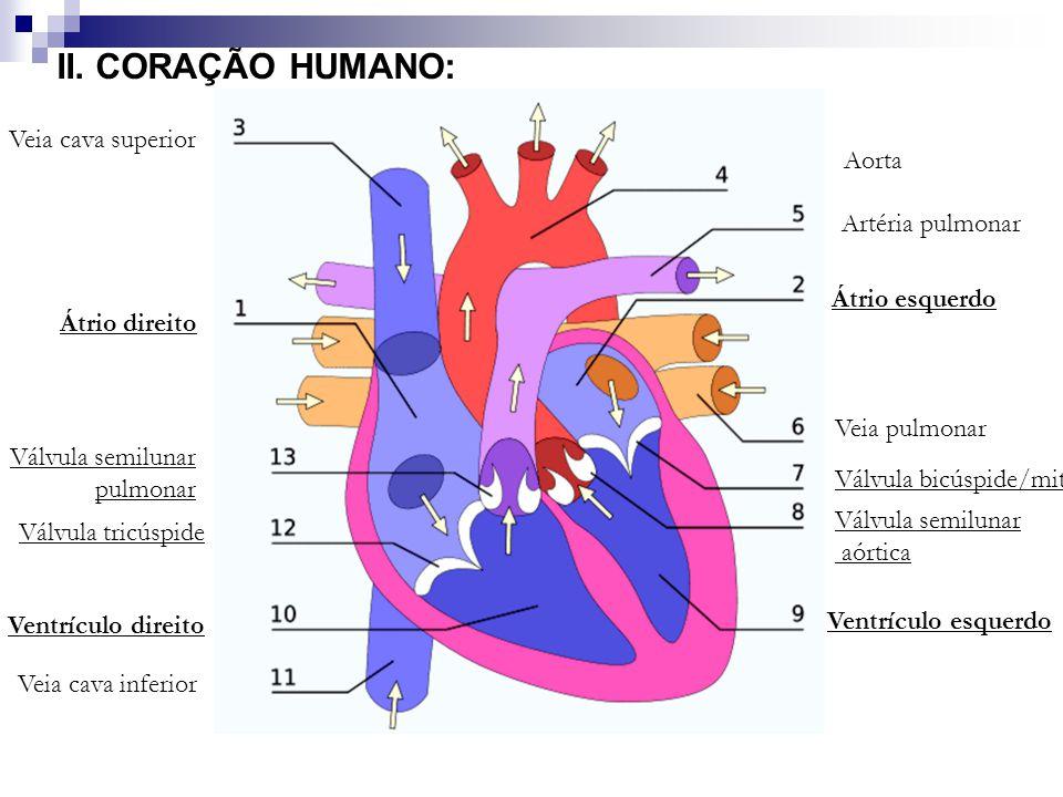II. CORAÇÃO HUMANO: Átrio direito Átrio esquerdo Veia cava superior Aorta Artéria pulmonar Veia pulmonar Válvula bicúspide/mitral Válvula semilunar aó