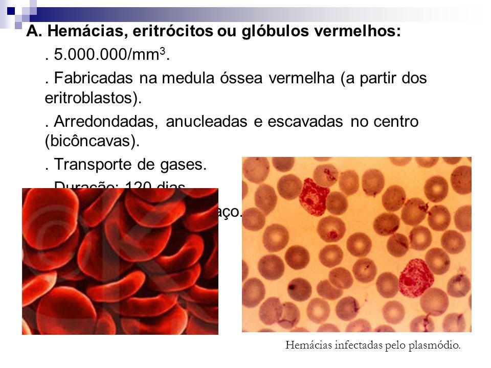 A. Hemácias, eritrócitos ou glóbulos vermelhos:. 5.000.000/mm 3.. Fabricadas na medula óssea vermelha (a partir dos eritroblastos).. Arredondadas, anu