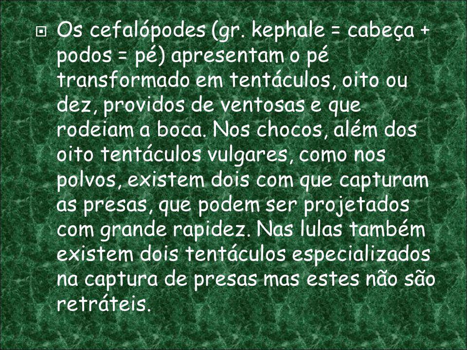Os cefalópodes (gr. kephale = cabeça + podos = pé) apresentam o pé transformado em tentáculos, oito ou dez, providos de ventosas e que rodeiam a boca.