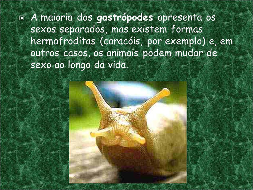 A maioria dos gastrópodes apresenta os sexos separados, mas existem formas hermafroditas (caracóis, por exemplo) e, em outros casos, os animais podem