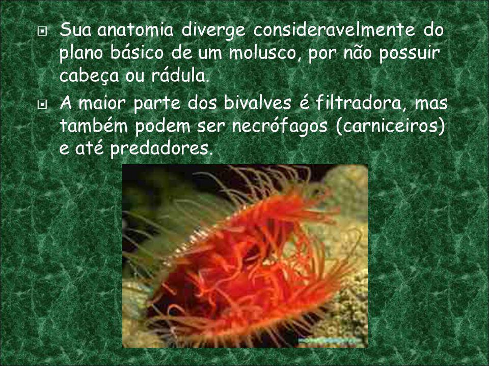 Sua anatomia diverge consideravelmente do plano básico de um molusco, por não possuir cabeça ou rádula. A maior parte dos bivalves é filtradora, mas t