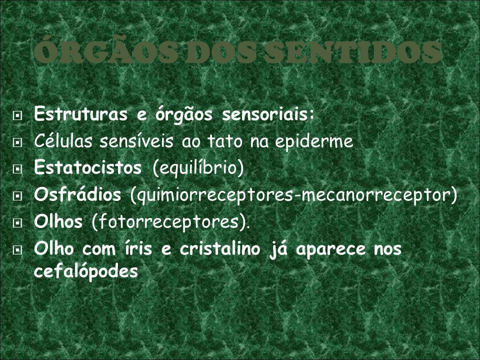 ÓRGÃOS DOS SENTIDOS Estruturas e órgãos sensoriais: Células sensíveis ao tato na epiderme Estatocistos (equilíbrio) Osfrádios (quimiorreceptores-mecan