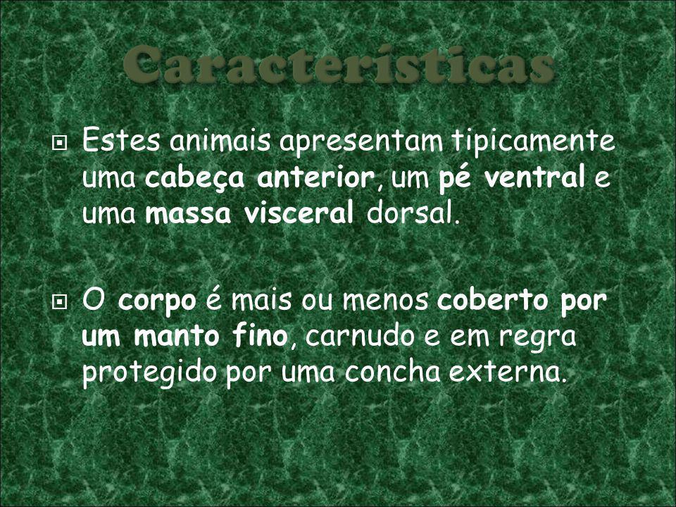 Estes animais apresentam tipicamente uma cabeça anterior, um pé ventral e uma massa visceral dorsal.