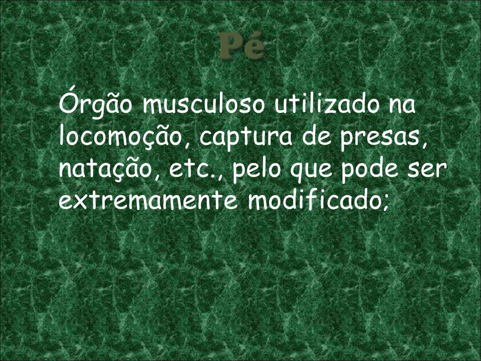 Órgão musculoso utilizado na locomoção, captura de presas, natação, etc., pelo que pode ser extremamente modificado;