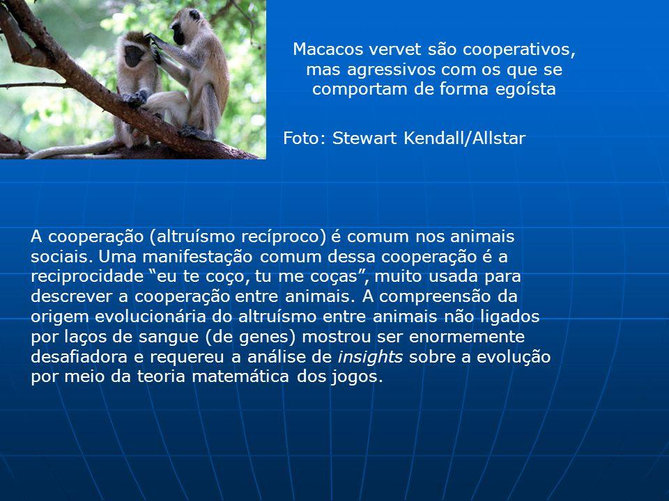Macacos vervet são cooperativos, mas agressivos com os que se comportam de forma egoísta Foto: Stewart Kendall/Allstar A cooperação (altruísmo recíproco) é comum nos animais sociais.