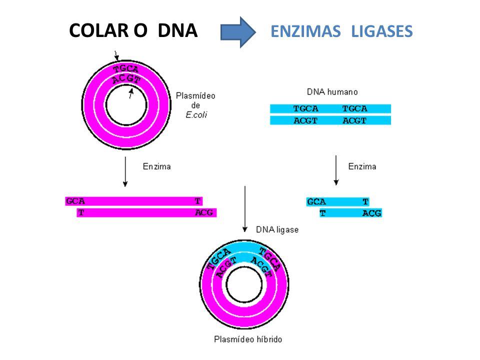 COLAR O DNA ENZIMAS LIGASES