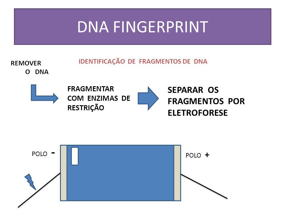 DNA FINGERPRINT IDENTIFICAÇÃO DE FRAGMENTOS DE DNA REMOVER O DNA FRAGMENTAR COM ENZIMAS DE RESTRIÇÃO SEPARAR OS FRAGMENTOS POR ELETROFORESE POLO - POL
