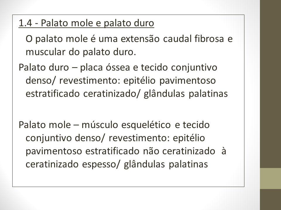 1.4 - Palato mole e palato duro O palato mole é uma extensão caudal fibrosa e muscular do palato duro. Palato duro – placa óssea e tecido conjuntivo d