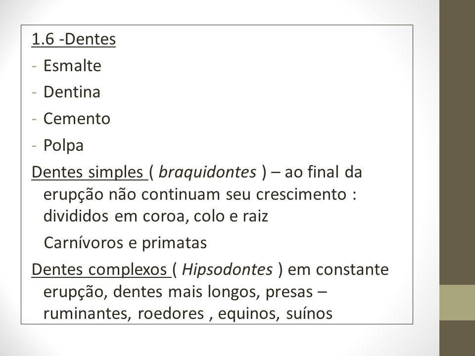 1.6 -Dentes -Esmalte -Dentina -Cemento -Polpa Dentes simples ( braquidontes ) – ao final da erupção não continuam seu crescimento : divididos em coroa