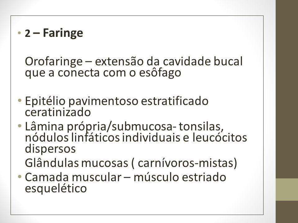 2 – Faringe Orofaringe – extensão da cavidade bucal que a conecta com o esôfago Epitélio pavimentoso estratificado ceratinizado Lâmina própria/submuco