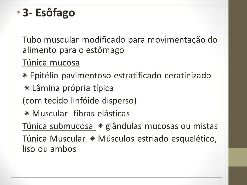 3- Esôfago Tubo muscular modificado para movimentação do alimento para o estômago Túnica mucosa ٭ Epitélio pavimentoso estratificado ceratinizado ٭ Lâ