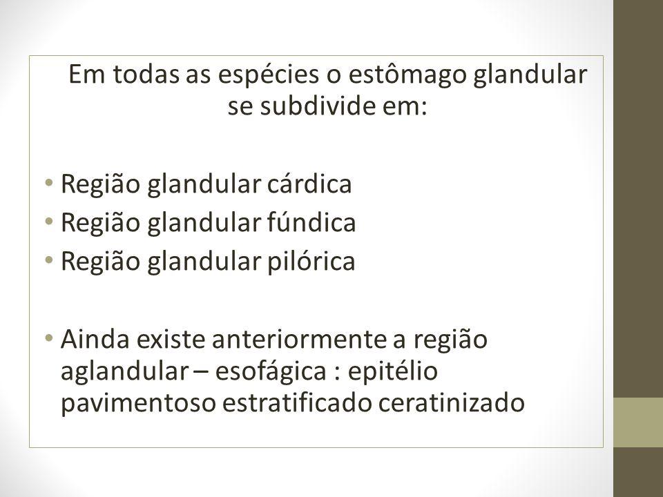 Em todas as espécies o estômago glandular se subdivide em: Região glandular cárdica Região glandular fúndica Região glandular pilórica Ainda existe an