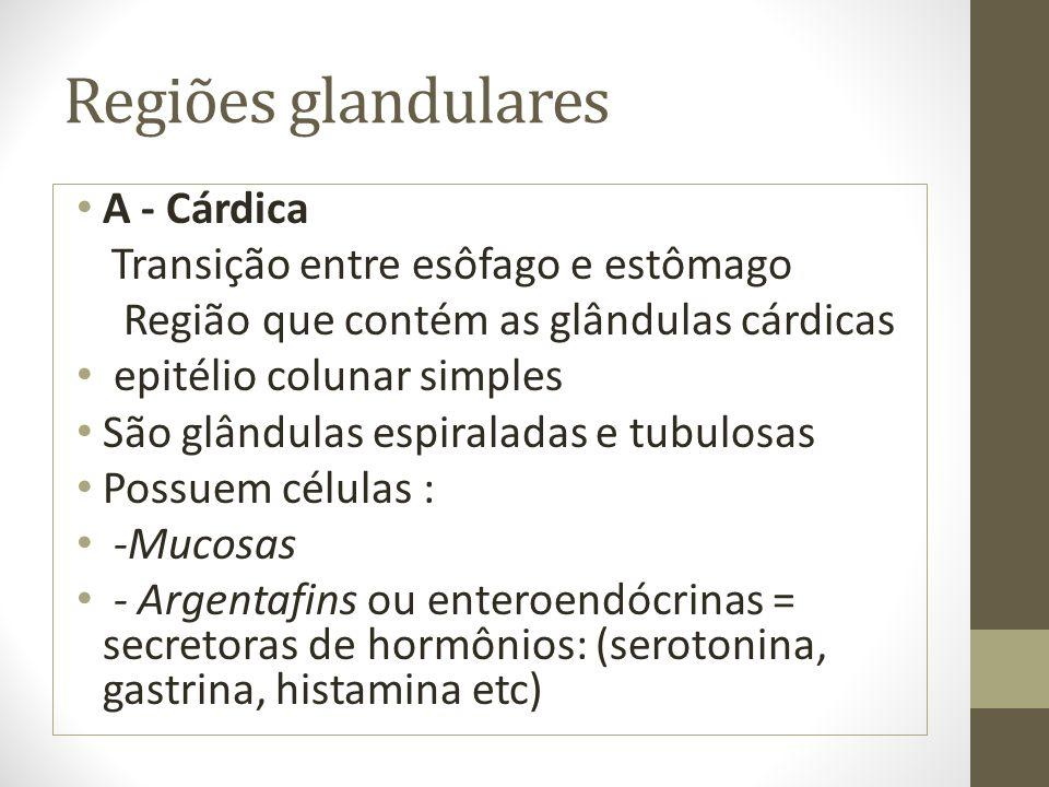 Regiões glandulares A - Cárdica Transição entre esôfago e estômago Região que contém as glândulas cárdicas epitélio colunar simples São glândulas espi