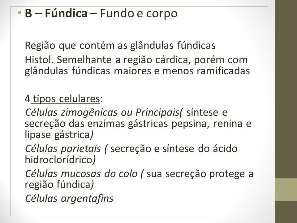 B – Fúndica – Fundo e corpo Região que contém as glândulas fúndicas Histol.