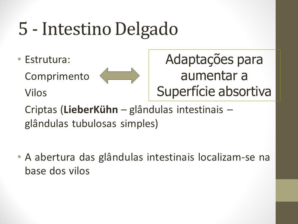 5 - Intestino Delgado Estrutura: Comprimento Vilos Criptas (LieberKühn – glândulas intestinais – glândulas tubulosas simples) A abertura das glândulas intestinais localizam-se na base dos vilos Adaptações para aumentar a Superfície absortiva