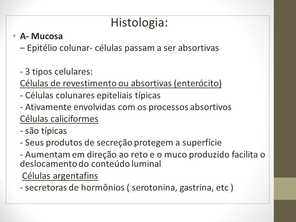 Histologia: A- Mucosa – Epitélio colunar- células passam a ser absortivas - 3 tipos celulares: Células de revestimento ou absortivas (enterócito) - Cé