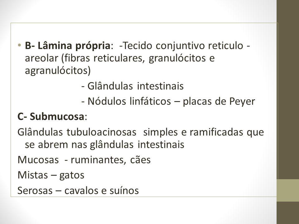 B- Lâmina própria: -Tecido conjuntivo reticulo - areolar (fibras reticulares, granulócitos e agranulócitos) - Glândulas intestinais - Nódulos linfáticos – placas de Peyer C- Submucosa: Glândulas tubuloacinosas simples e ramificadas que se abrem nas glândulas intestinais Mucosas - ruminantes, cães Mistas – gatos Serosas – cavalos e suínos