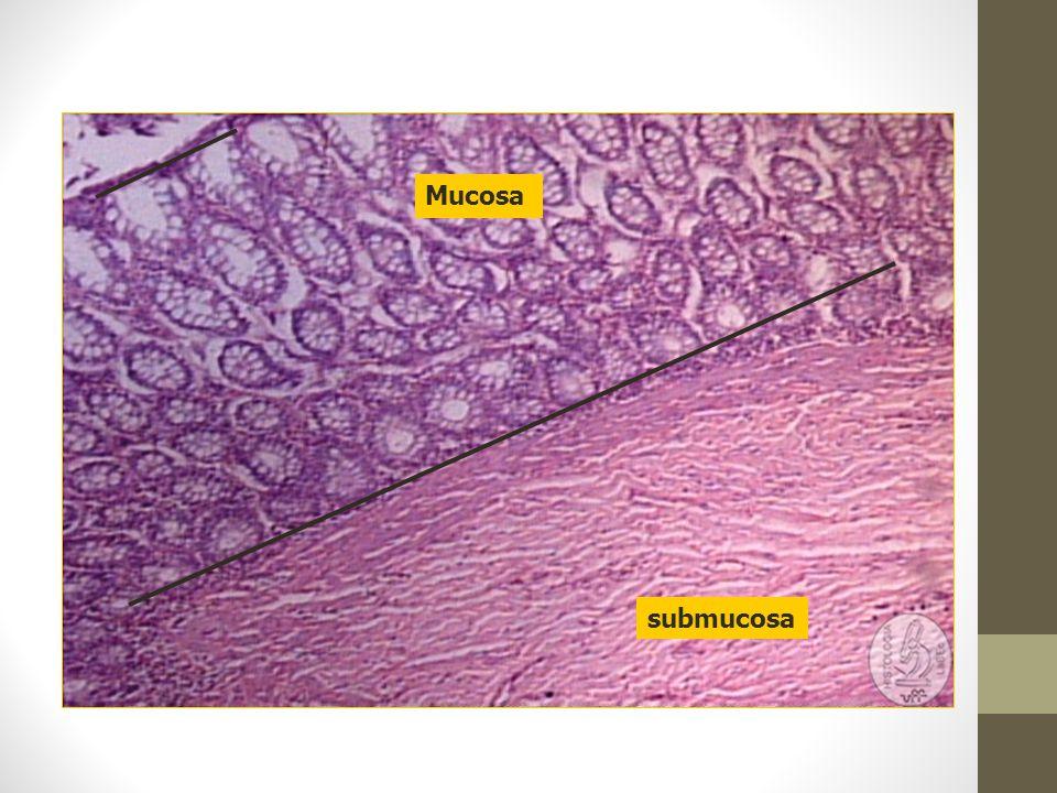 Mucosa submucosa