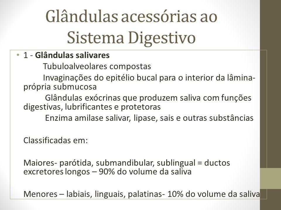 Glândulas acessórias ao Sistema Digestivo 1 - Glândulas salivares Tubuloalveolares compostas Invaginações do epitélio bucal para o interior da lâmina- própria submucosa Glândulas exócrinas que produzem saliva com funções digestivas, lubrificantes e protetoras Enzima amilase salivar, lipase, sais e outras substâncias Classificadas em: Maiores- parótida, submandibular, sublingual = ductos excretores longos – 90% do volume da saliva Menores – labiais, linguais, palatinas- 10% do volume da saliva