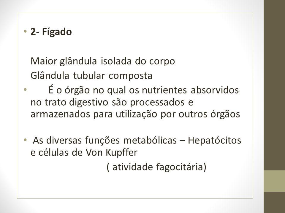 2- Fígado Maior glândula isolada do corpo Glândula tubular composta É o órgão no qual os nutrientes absorvidos no trato digestivo são processados e ar
