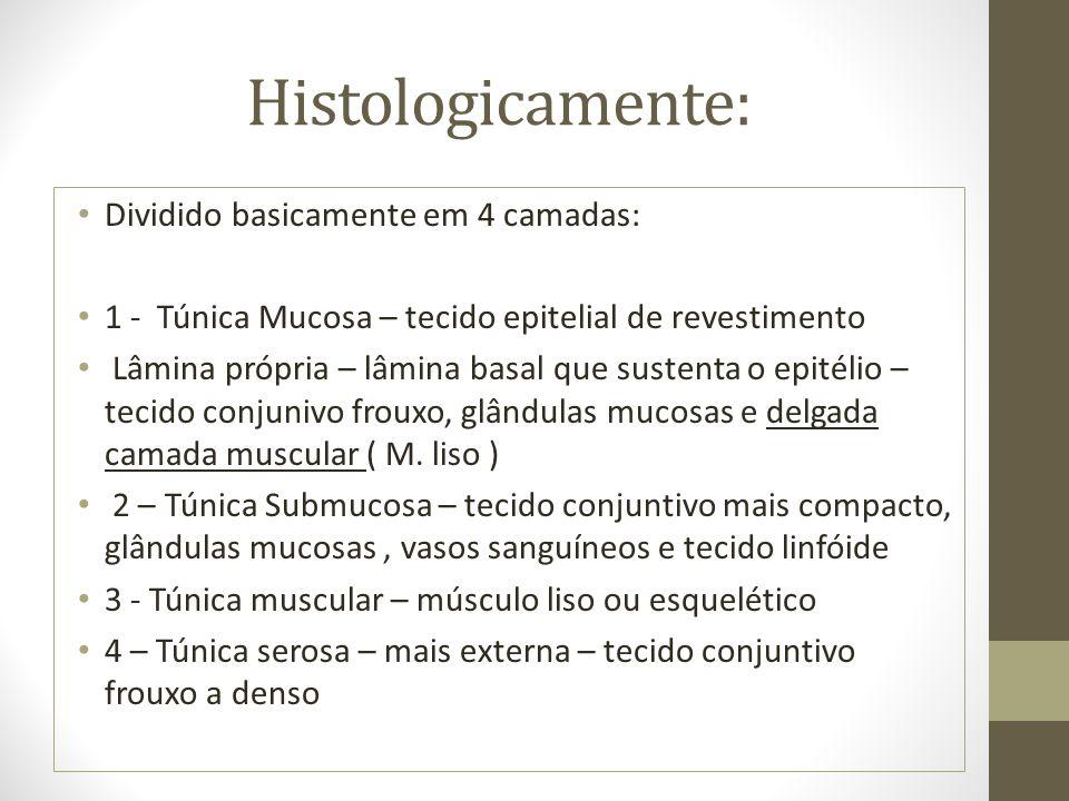 Histologicamente: Dividido basicamente em 4 camadas: 1 - Túnica Mucosa – tecido epitelial de revestimento Lâmina própria – lâmina basal que sustenta o