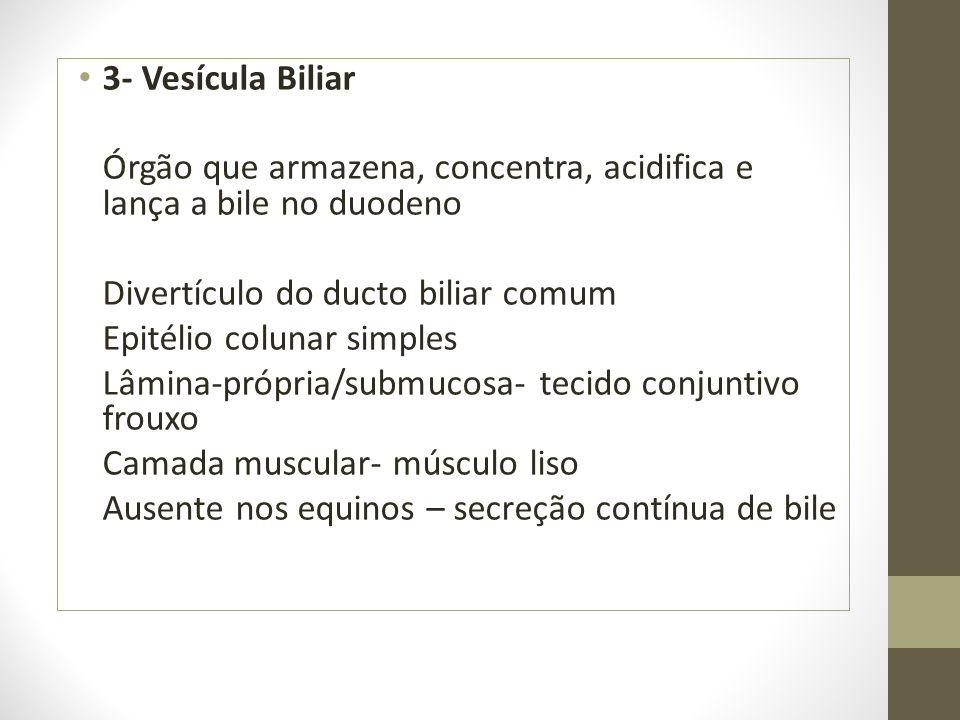 3- Vesícula Biliar Órgão que armazena, concentra, acidifica e lança a bile no duodeno Divertículo do ducto biliar comum Epitélio colunar simples Lâmin